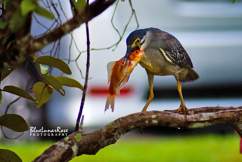 The catch of the Striated Heron by BlueLunarRose