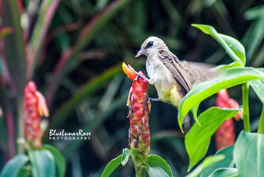 Yellow-vented Bulbul by BlueLunarRose