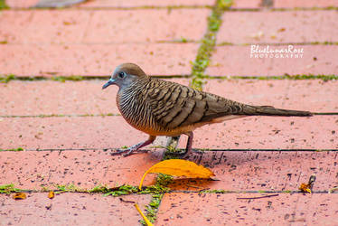 Zebra Dove by BlueLunarRose
