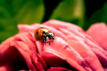 Hiding in My Rose...