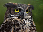 Coastal Great Horned Owl. Painting