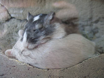 Sleeping Gerbils
