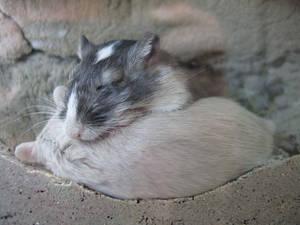 Sleeping Gerbils