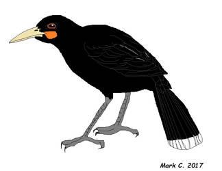 Extinct Birds Part 5: Huia by markthepencilguy
