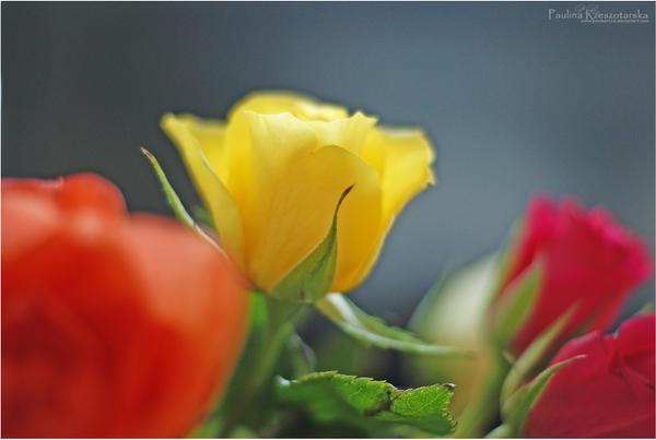 Roses no.2 by Paulaart18