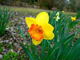 Ambergate daffodil by Calypso1977