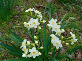Grand Primo Daffodils by Calypso1977