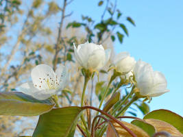 Pear Blossoms In The Setting Sun by Calypso1977
