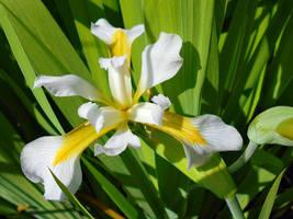 White Iris Virginica by Calypso1977