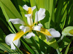 White Iris Virginica