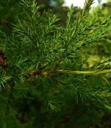 Cedar Green by Calypso1977