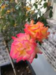 Sunday Roses by Calypso1977