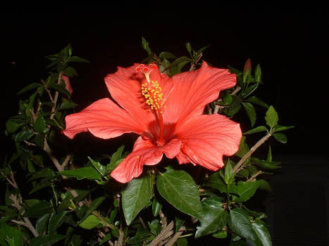 hibiscus in the nigth
