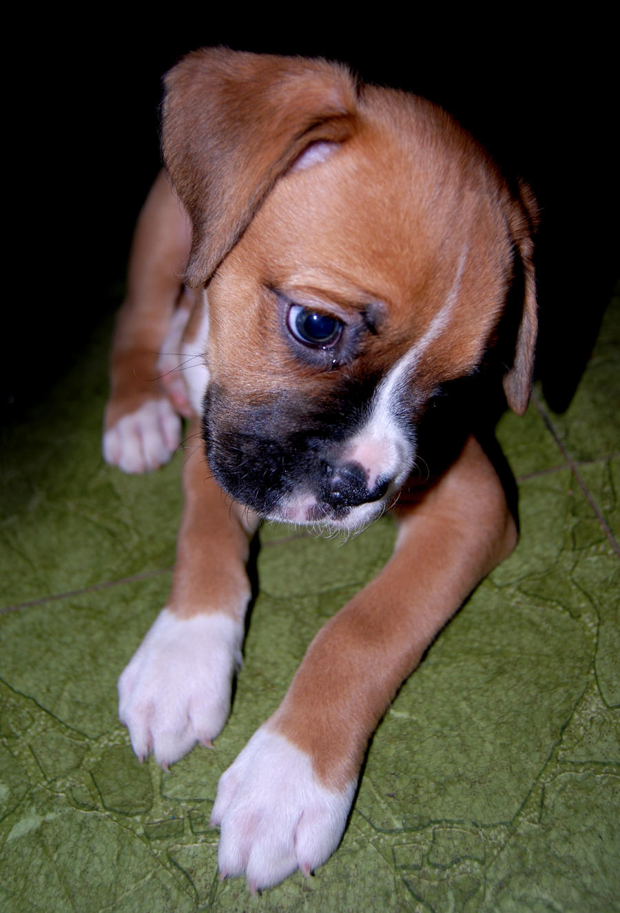 Cute Boxer Puppy by Stock-by-Kai on deviantART