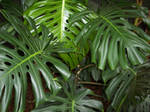 Monstera by Stock-by-Kai