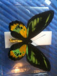 ORNITHOPTERA ROTHSCHILDI male by Blutbraut