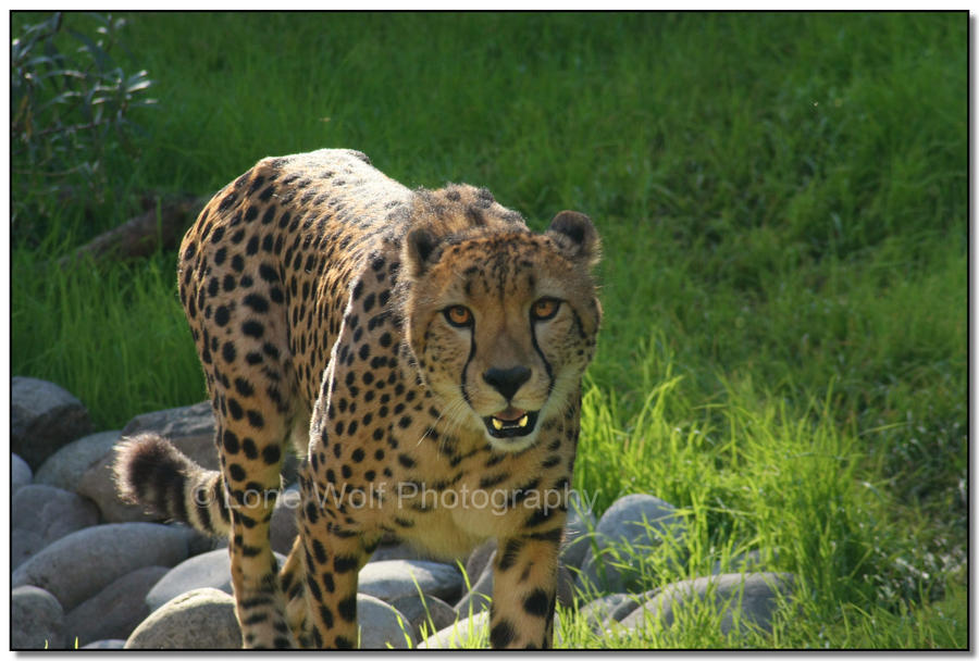 He's-A-Cheetah by LoneWolfPhotography
