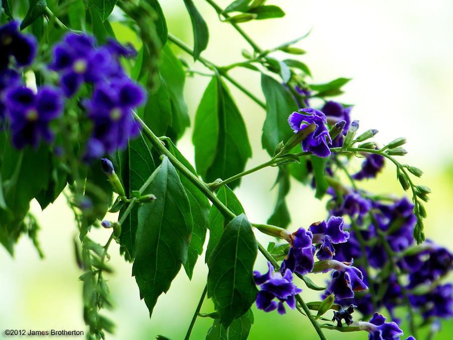 Purple Beauty by jim88bro