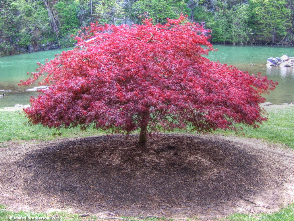 Red Laceleaf Japanese Maple By Jim88bro On Deviantart