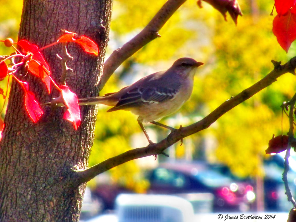 Mockingbird Enjoys The Autumn Day by jim88bro