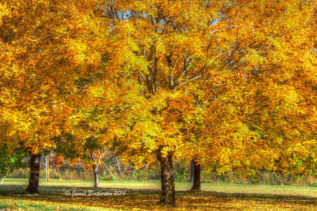 Golden Trees by jim88bro