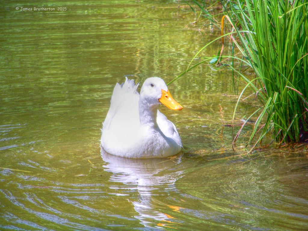Mr Ducky by jim88bro