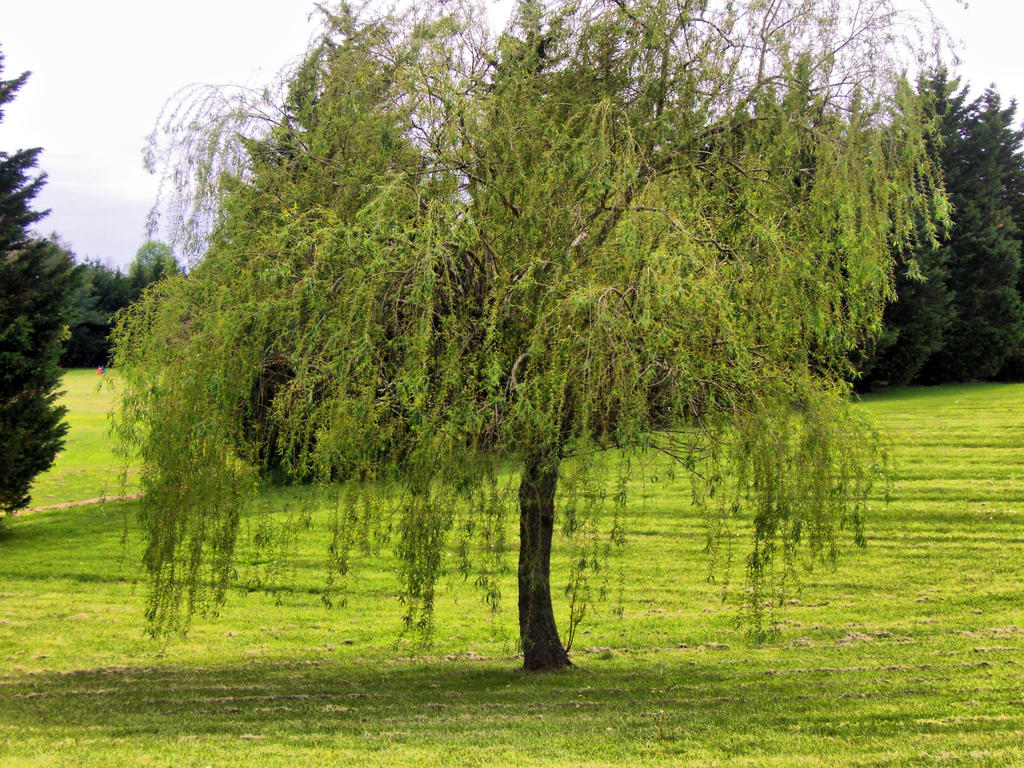 Weeping Willow by jim88bro