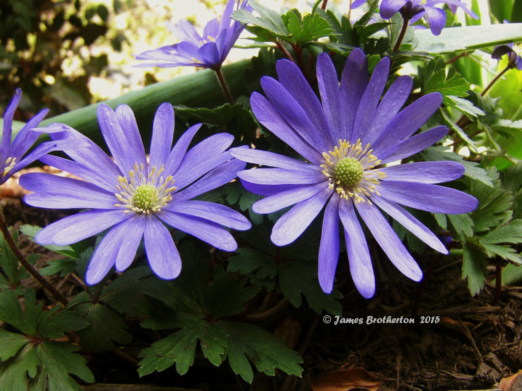 Anemone blanda by jim88bro