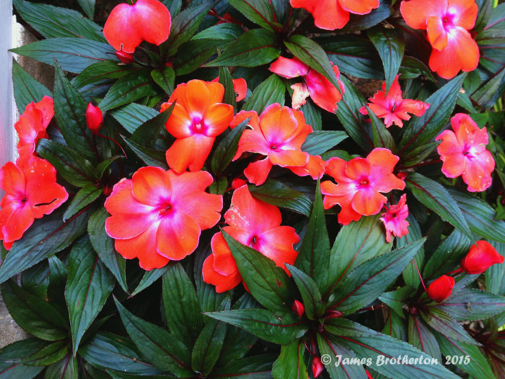 Impatiens Walleriana by jim88bro