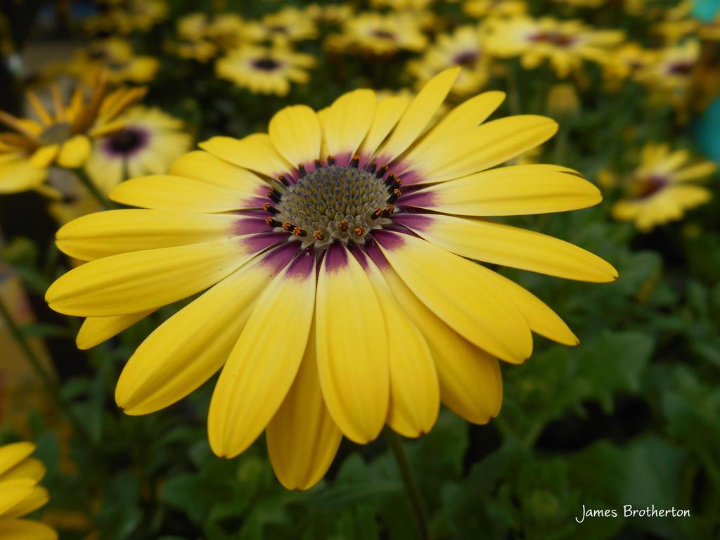 Yellow Gerbera Daisies by jim88bro