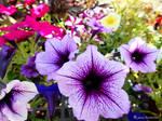 Petunias Of All Colors by jim88bro