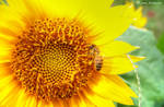 A Bee And Sunflower