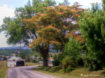 Mimosa Tree On A Valley Road by jim88bro