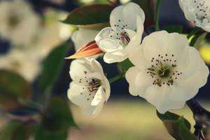 :Blossoms: by reinventlovee