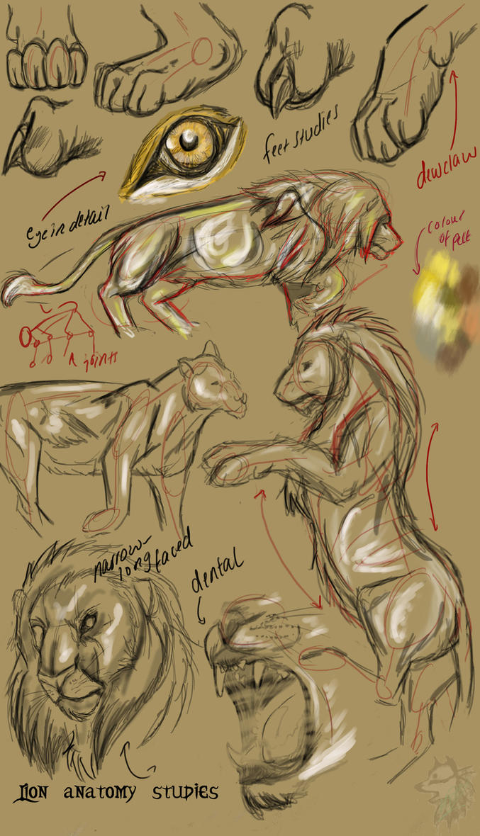 Lion Anatomy Studies By Ghostwolfen On Deviantart