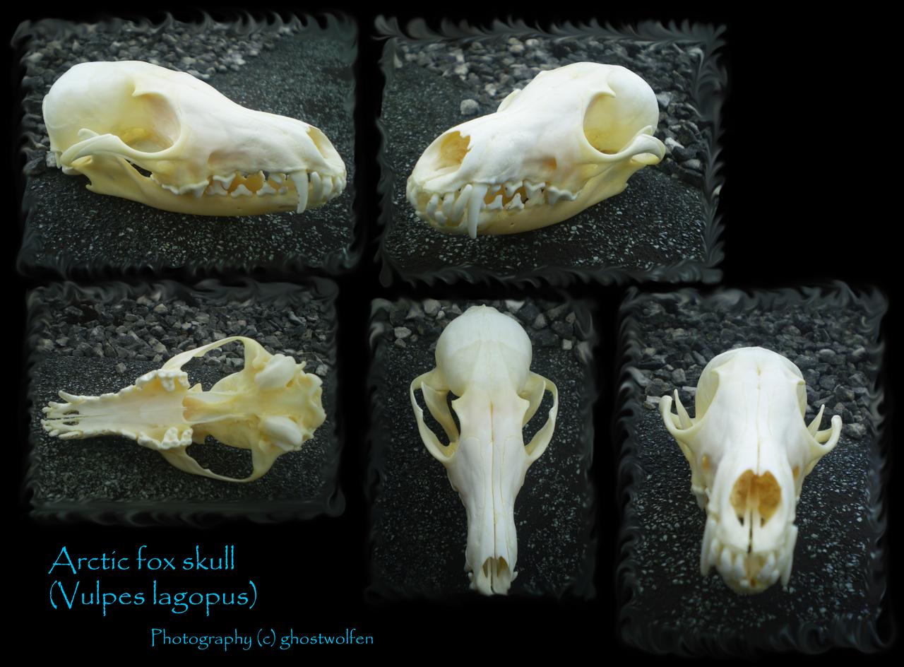 Arctic fox skull by ghostwolfen on DeviantArt