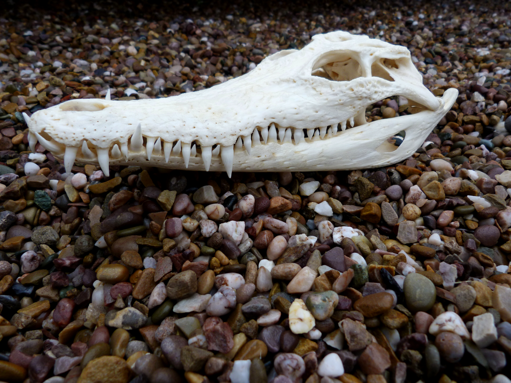 Nile crocodile skull by ghostwolfen on DeviantArt