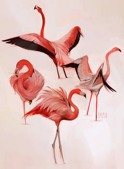 flamingo studies