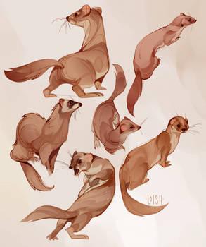 weasel studies