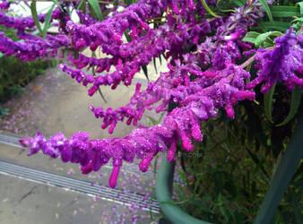 Violet Ice