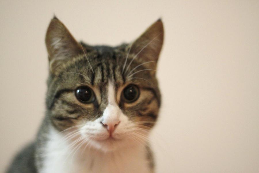 Cat Loolrd Like With Gun