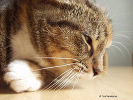 cat by toni-s