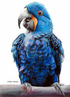 Hyacinth Macaw by blue-birdie-drawings