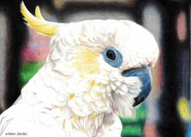 White cockatoo by blue-birdie-drawings