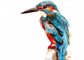 Kingfisher by blue-birdie-drawings