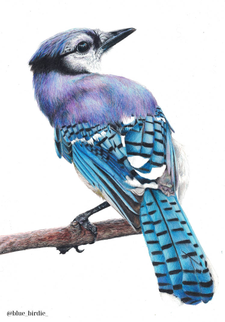Blue Jay by blue-birdie-drawings