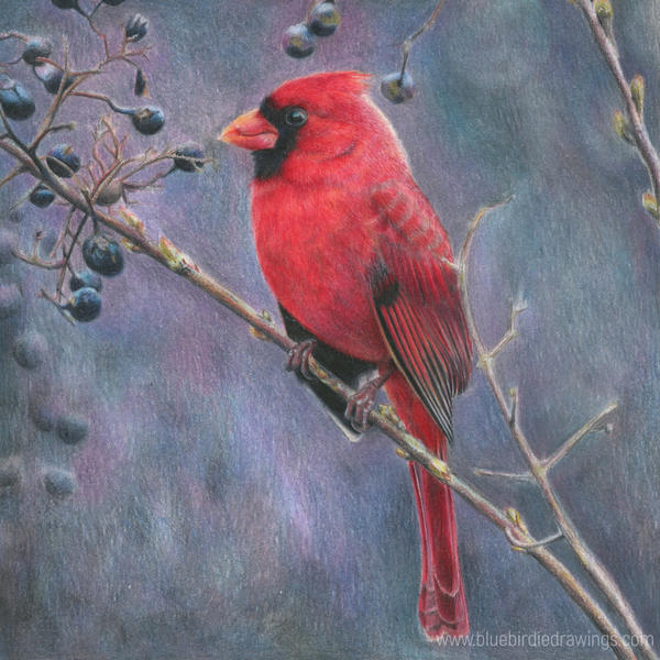 Red cardinal by blue-birdie-drawings