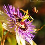 Passionflower by AljoschaThielen