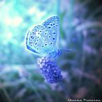Lil' blue Butterfly