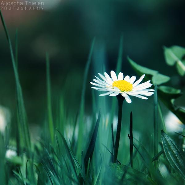 Daisy by AljoschaThielen